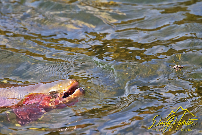 "Native Yellowstone cutthroat trout rising to eat stonefly in the Yellowstone River in Yellowstone National Park.  (© Daryl Hunter's ""The Hole Picture""/Daryl L. Hunter)"