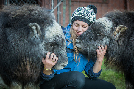 Employee Kayla Jackson with Muskox calves, Chugach and Wrangle, at the Alaska Wildlife Conservation Center near Portage, Alaska (Clark James Mishler)