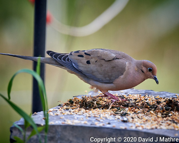 Mourning Dove feeding. Image taken with a Nikon D5 camera and 600 mm f/4 VR lens (ISO 1600, 600 mm, f/5.6, 1/500 sec). (DAVID J MATHRE)