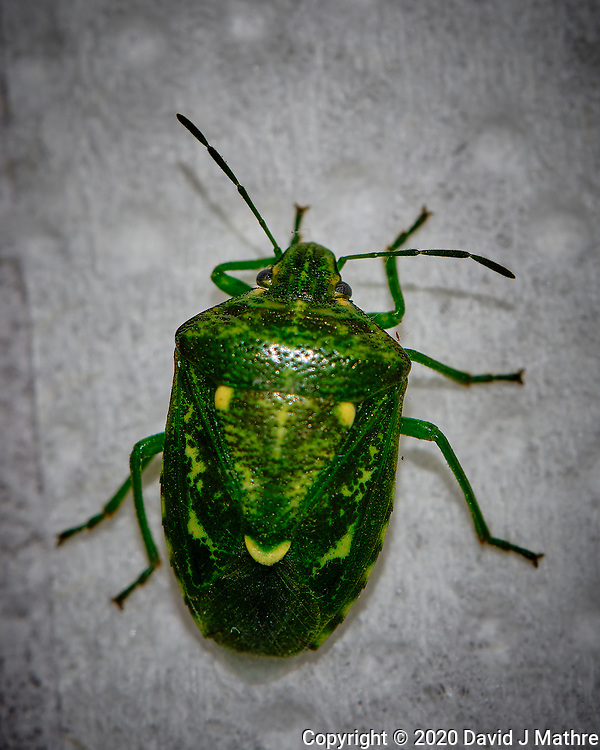 Green Stink Bug Image taken with a Fuji X-T3 camera and 80 mm f/2.8 macro lens (ISO 200, 80 mm, f/8, 1/60 sec) (DAVID J MATHRE)