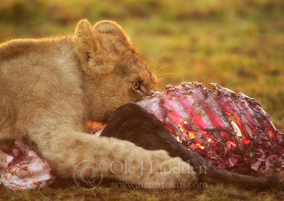 Lion (Panthera leo) cub in Masai Mara (Ole Jørgen Liodden)