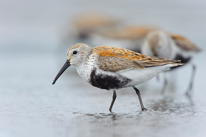 Adult Dunlin (Calidris alpina) molting into breeding (alternate) plumage bathing during spring migration. Gray's Harbor County, Washington. April. (Gerrit Vyn)
