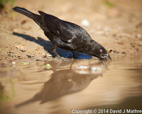 Bronzed Cowbird Drinking at Dos Venadas Ranch in Southern Texas. Image taken with a Nikon D800 camera and 400 mm f/2.8 VR lens (ISO 140, 400 mm, f/4, 1/800 sec). (David J Mathre)