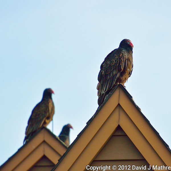 Turkey Vultures on a Rooftop Waiting to Warm in the Morning Sun. Image taken with a Nikon 1 V2 FT1 adapter and 70-200 mm f/2.8 VRII lens (ISO 160, 200 mm, f/2.8, 1/1600 sec). (David J Mathre)