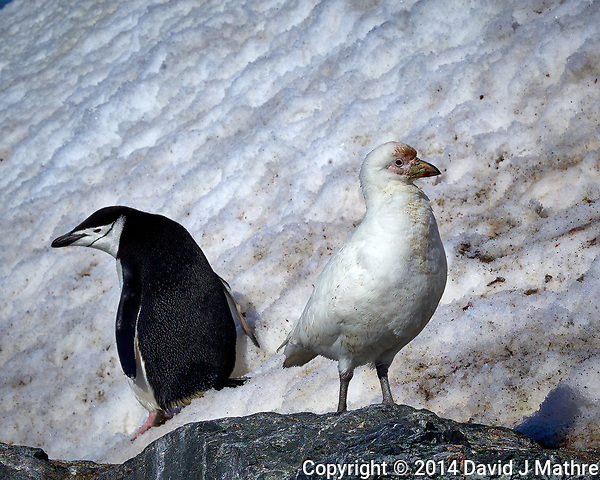 You Look Your Way, I'll Look My Way. Snowy Sheathbill and Chinstrap Penguin on Elephant Island. Image taken with a Leica T camera and 18 -56 mm lens (ISO 100, 55 mm, f/16. 1/500 sec) Raw image processed with Capture One Pro 8, Focus Magic, and Photoshop CC. (David J Mathre)