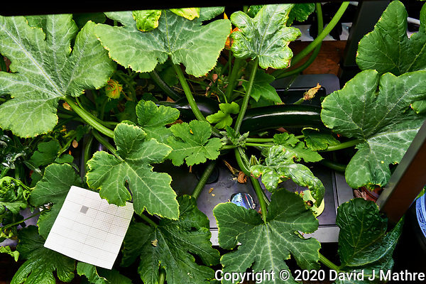 AeroGarden Farm 05-Right. Zucchini Plants (74 days). Image taken with a Leica TL-2 camera and 35 mm f/1.4 lens (ISO 400, 35 mm, f/8, 1/30 sec). (DAVID J MATHRE)