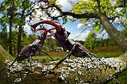 Serie (4/6) - Hirschkäfer-Männchen (Lucanus cervus) dulden sich nicht auf dem gleichen Eichenast und so kommt es immer wieder zu kleinen Kämpfen, bis ein Kafer vom Ast fällt oder flieht. Elbtalauen, Deutschland | Rivals Stag beetle (Lucanus cervus) two males displaying aggressive behaviour on oak tree branch. (Solvin Zankl)