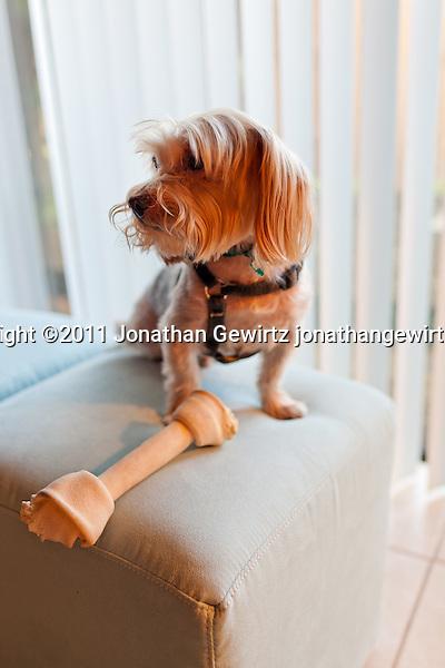 A Yorkshire Terrier standing on a piece of stuffed furniture over a large rawhide bone. (© Jonathan Gewirtz, jonathan@gewirtz.net)