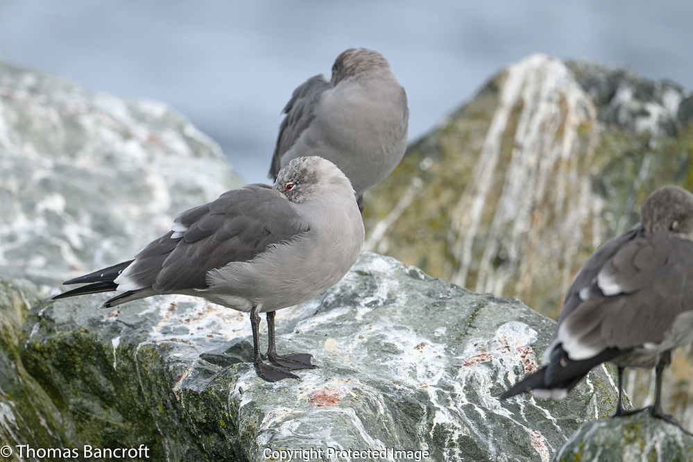 Heermann's Gulls roost on the rocks by Edmonds Pier. (Thomas Bancroft)