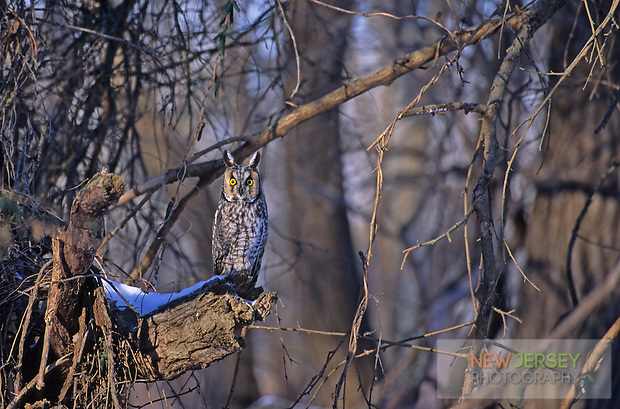 Long-eared Owl, New Jersey (Steve Greer / SteveGreerPhotography.com)