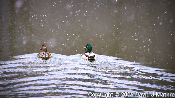 Mallard Pair Swimming in a Snowstorm at the Sourland Mountain Preserve. Nikon D300 18-200 mm f/3.5-5.6 VR lens (ISO 400, 200 mm, f/5.6, 1/200 sec). (David J. Mathre)