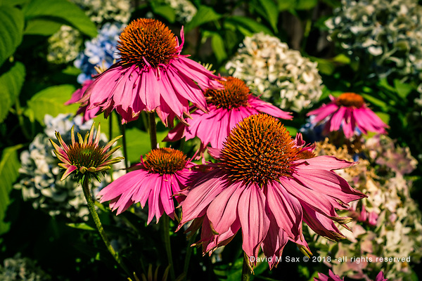 7.26.17 - Echinacea Revisited.... (© David M Sax 2017 - all rights reserved)