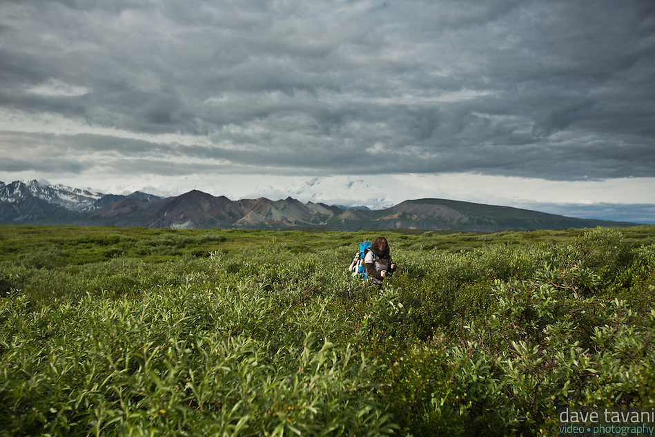 Lori bushwhacks through the dwarf willow as we hike to the Park Road. (Dave Tavani)