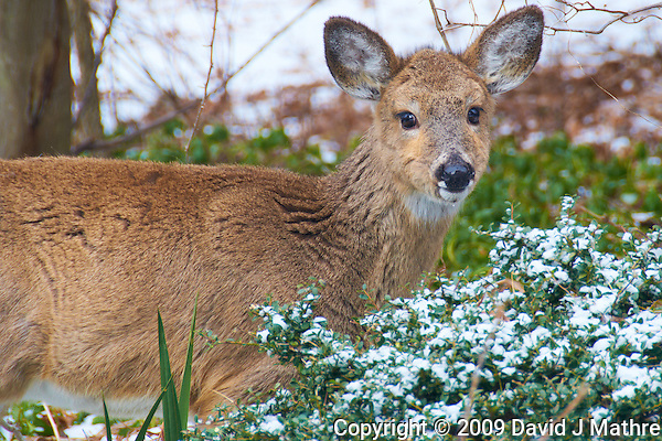 Yearling Deer Eating my Shrubs in the Snow. Nikon D300 18-200 mm f/3.5-5.6 VR lens (ISO 200, 200 mm, f/6.3, 1/160 sec) (David J Mathre)