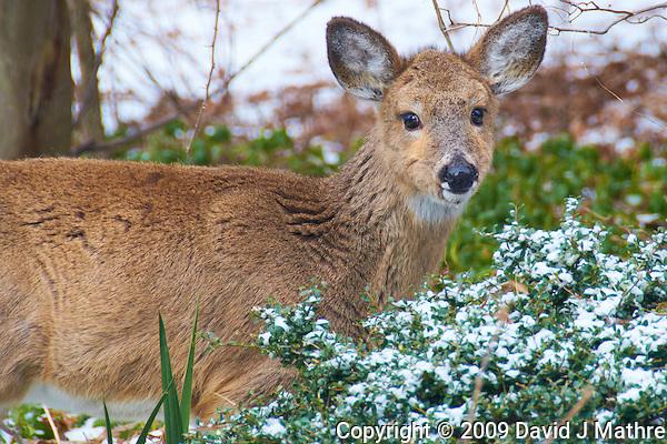 Yearling Deer Eating my Shrubs in the Snow. Nikon D300 18-200 mm f/3.5-5.6 VR lens (ISO 200, 200 mm, f/6.3, 1/160 sec) (David J Mathre)