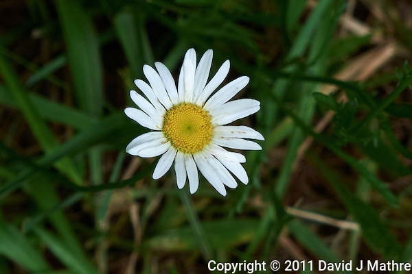 Wild Daisy Flower. Late Spring in New Jersey. Image taken with a Leica D-Lux 5 camera (ISO 100, 19.2 mm, f/3.3, 1/125 sec). Raw image processed with Capture One Pro, Focus Magic, and Photoshop CS5. (David J Mathre)