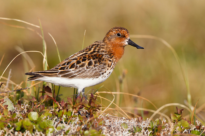 Adult male Spoon-billed Sandpiper between bouts of rhythmically repeated calls. Chukotka, Russia. June. (Gerrit Vyn)