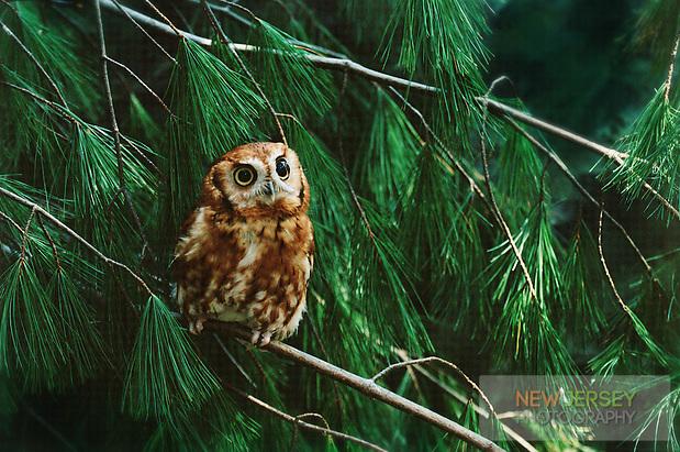 Eastern Screech Owl, rufous phase.  Medford, New Jersey (Steve Greer / SteveGreerPhotography.com)