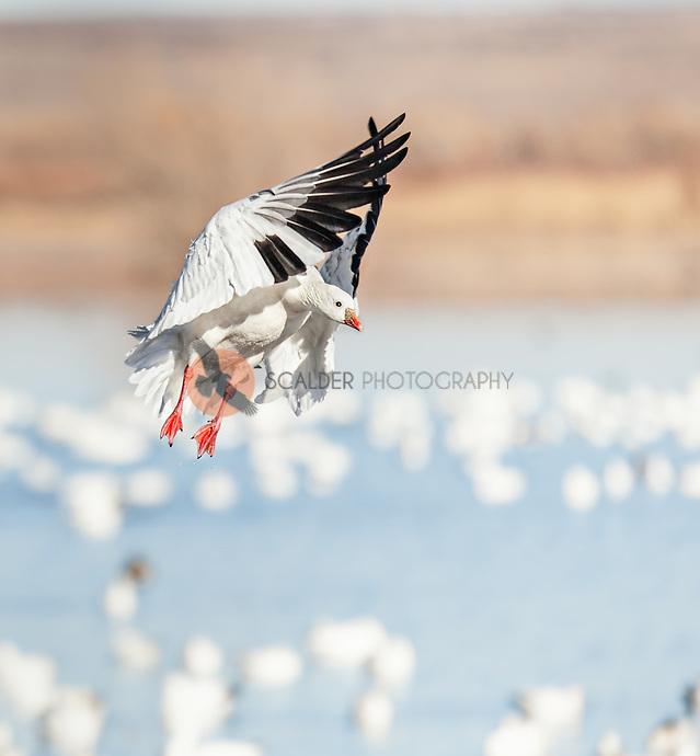 Ross's Goose landing  in orchestra position (sandra calderbank)