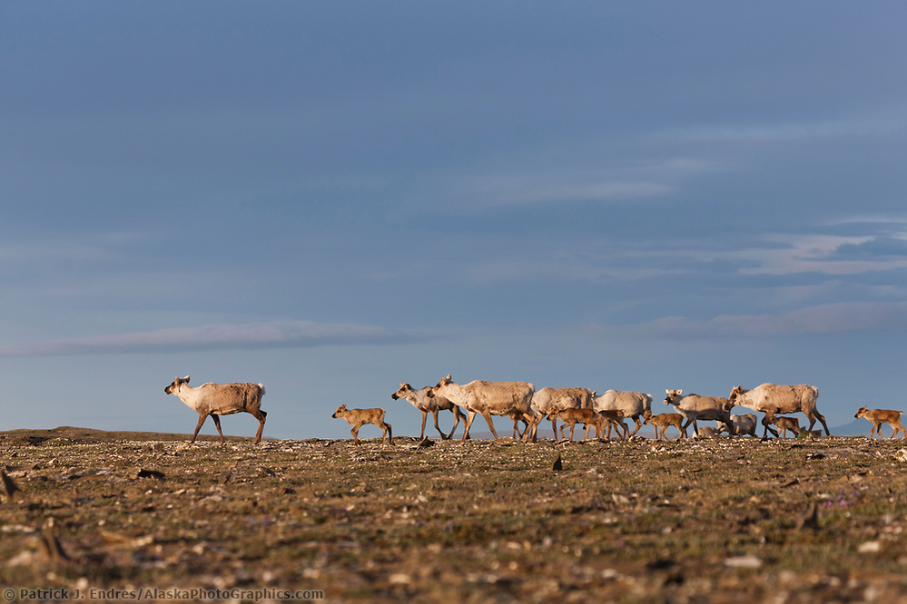 Caribou of the Western arctic herd migrate through the Utukok Uplands, National Petroleum Reserve Alaska, Arctic, Alaska. (Patrick J. Endres / AlaskaPhotoGraphics.com)