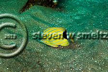 Bluestripe Butterflyfish, Chaetodon fremblii, Maui Hawaii (Steven W SMeltzer)