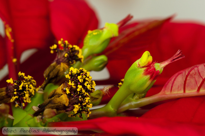 A single female poinsettia flower with stigma, style, and ovary can be seen emerging from its involucre (cluster of bracts fused together) on the right half of this image; the involucre also has a nectar gland emerging from it (that look like two yellow-green lips).  The entire inflorescence (involcure and female flower) is called a cyanthium.  On the left of the image a number of withered male flowers and their nectar glands can be seen emerging from shriveled involucres.  The red leaves surrounding the inflorescences (mostly out of focus) are bracts. (Marc C. Perkins)