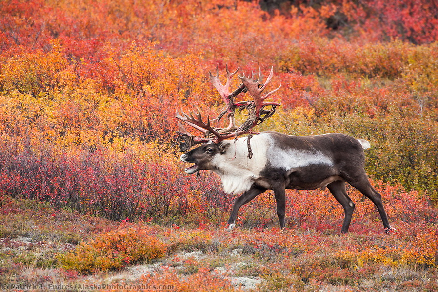 Large bull caribou with shedding velvet antlers walks through crimson colored dwarf birch tundra in Denali National Park. (Patrick J Endres / AlaskaPhotoGraphics.com)