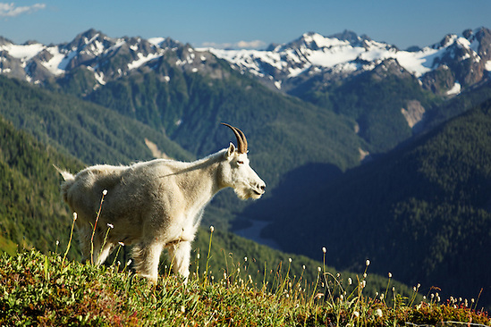 Mountain goat in Bailey Range overlooking Hoh River valley and Mount Olympus, Olympic Mountains, Olympic National Park, Washington (Copyright Brad Mitchell Photography.9601 Wall St.Snohomish, WA 98296.USA.425-418-7279.brad@bradmitchellphoto.com)