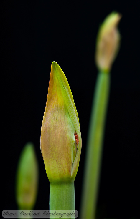 Three young developing amaryllis ([Hippeastrum] sp cultivar) inflorescences can be seen growing on their scapes, long leafless stems that support them.  Amaryllis inflorescences contain multiple flowers that develop inside spathes, bracts (modified leaves) that surround the young flowers.  The two spathes are just starting to split open on the closest flower, revealing a bit of red from one of the flowers.  The two flower stalks in the background are blurred out of focus.  This image was captured outside using natural light; no flowers were harmed in the production of this image. (Marc C. Perkins)
