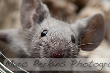 A gray male mouse gets up close and personal with the camera lens, looking right at the edge of the lens.  This closeup focuses on the nose and whiskers of the mouse. (Marc C. Perkins)