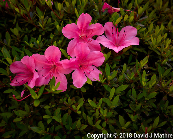 Red Azalea Flowers. Image taken with a Leica CL camera and 18 mm f/2.8 lens. (David J Mathre)