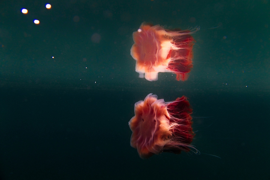 A single dive with the Canon EF100mm f2.8L IS macro lens at Fanks, Isle of Skye to explore the detail of the Lion's Mane jellyfish Photographer: Gill Williams Post Production: Geraint Ashton Jones https://www.belowtheskyeline.com (Below the Skye Line / © Gill Williams & © Geraint Ashton Jones)