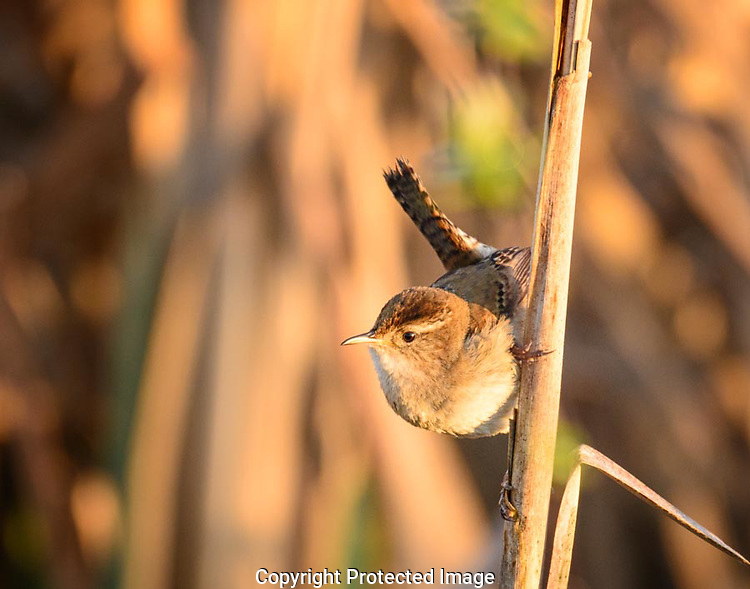 The Marsh Wren flew from one cattail to another singing loudly to annouce his territory to others.  He paused for a few seconds while hanging from the side of a cattail stalk and allowed me to create the shot. (G. Thomas Bancroft)
