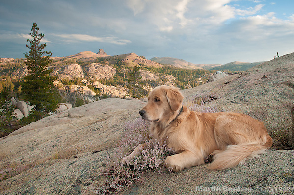 Dog (golden retriever) and morning alpenglow on the Sierra Nevada, Toiyabe National Forest, California (Martin Beebee)