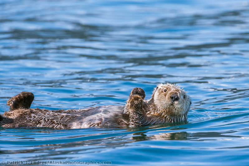 Sea otter, Port Wells, Prince William Sound, Alaska. (Patrick J. Endres / AlaskaPhotoGraphics.com)