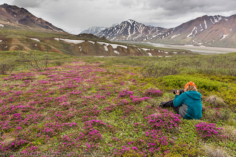 Denali National Park photos: Photographer takes pictures of spring blooming lapland rosebay that colors the tundra in Denali National Park, Alaska Range mountains in the distance. (Patrick J. Endres / AlaskaPhotoGraphics.com)