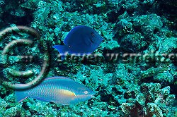 Princess Parrotfish, Scarus taeniopterus, Desmarest, 1831, Blue Tang, Acanthurus coeruleus, Bloch &amp; Schneider, 1801, Grand Cayman (StevenWSmeltzer.com)