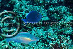 Princess Parrotfish, Scarus taeniopterus, Desmarest, 1831, Blue Tang, Acanthurus coeruleus, Bloch & Schneider, 1801, Grand Cayman (StevenWSmeltzer.com)