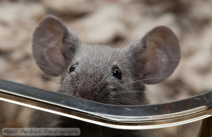 A gray male mouse with black eyes peers over the top of a clear plastic cage.  He's just poking his nose over, and looks like he's hesitantly wondering what, or who, is out there. (Marc C. Perkins)
