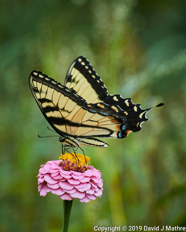 Eastern Tiger Swallowtail butterfly feeding on a Zinnia flower. Image taken with a Nikon N1V3 camera and 70-300 mm VR lens (DAVID J MATHRE)