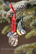 Blaumeise, an der Vogelfütterung, Fütterung im Winter bei Schnee, an Fettfutter in weihnachtlichen Formen, selbstgemachtes Vogelfutter, Winterfütterung, Blau-Meise, Meise, Parus caeruleus, blue tit (Frank Hecker)