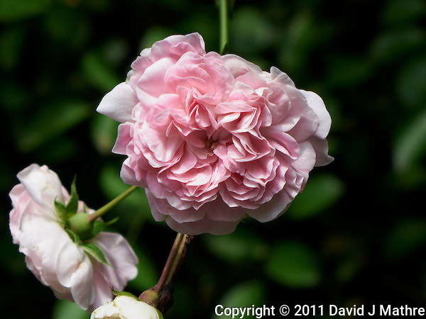 Small Pink Rose Flower. Late Spring in New Jersey. Image taken with a Leica D-Lux 5 camera (ISO 80, 19.2 mm, f/3.3, 1/200 sec). Raw image processed with Capture One Pro, Focus Magic, and Photoshop CS5. (David J Mathre)