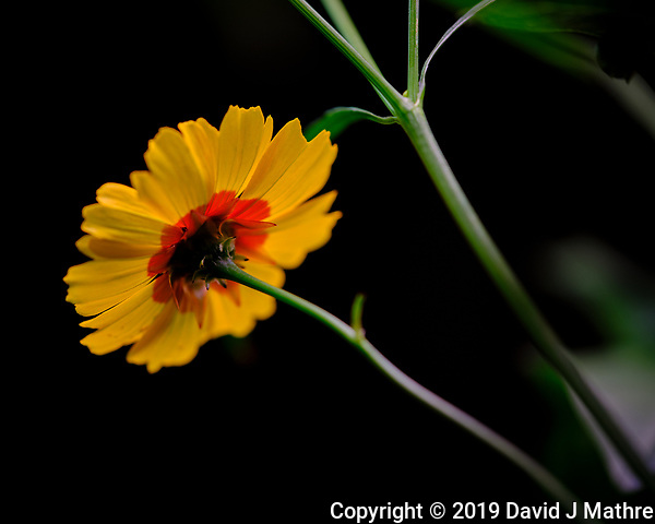 Plains Coreopsis Flower. Image taken with a Fuji X-T3 camera and 80 mm f/2.8 OIS macro lens (ISO 160, 80 mm, f/2.8, 1/125 sec). (DAVID J MATHRE)