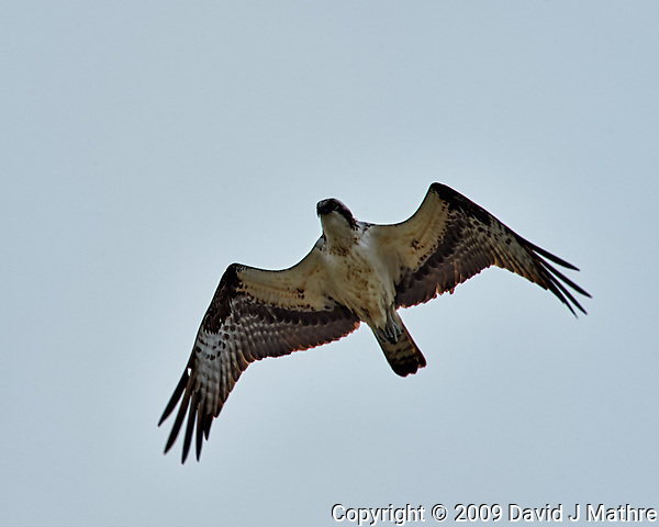 Osprey in Flight. Image taken with a Nikon D3 camera and 80-400 mm VR lens. (David J Mathre)
