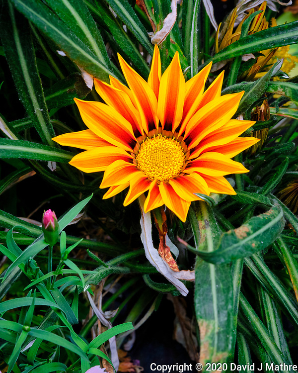Orange Gazania. Image taken with a Fuji X-T3 camera and 80 mm f/2.8 macro lens (ISO 1000, 80 mm, f/11, 1/60 sec) (DAVID J MATHRE)