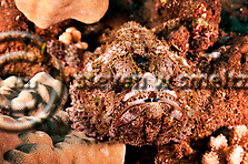 Commerson's Frogfish, Antennarius commerson, (Lacepède, 1798), Lanai Hawaii (Steven W SMeltzer)