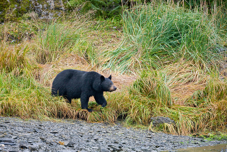 Black bear along a pink salmon, western Prince William Sound, Chugach National Forest, Kenai Peninsula, southcentral, Alaska. (Patrick J. Endres / AlaskaPhotoGraphics.com)