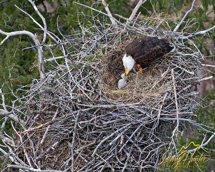 Eagles nest, bald eagles, eagle chick, feeding, Idaho