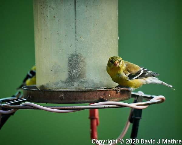 Pair of American Goldfinch. Image taken with a Nikon D5 camera and 600 mm f/4 VR lens (ISO 1600, 600 mm, f/5.6, 1/1000 sec) (DAVID J MATHRE)