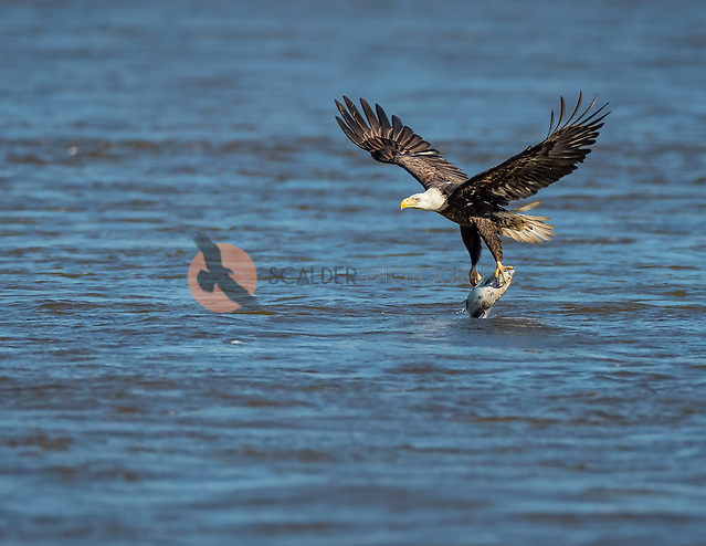 Adult Bald Eagle lifting off from water with fish (SandraCalderbank, sandra calderbank)